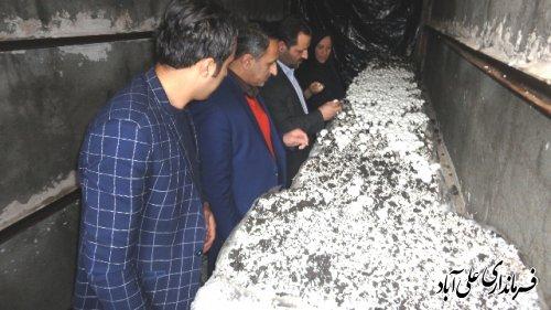 بازدید فرماندار علی آباد کتول از کارگاه پرورش قارچ