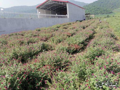 توسعه کشت گیاهان دارویی در شهرستان ، زمینه توسعه و اشتغال را در آینده فراهم میکند؛